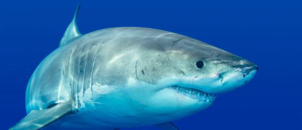7867-shark